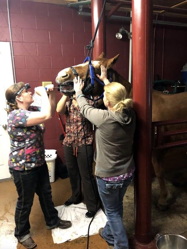 Three team members treating a horse