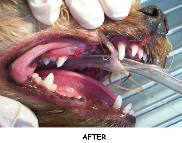A close up of a dog receiving dental care's mouth. This is an after shot