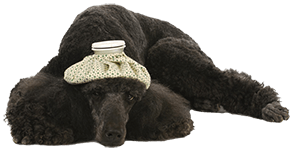 A sad black poodle with a ice pack on his head