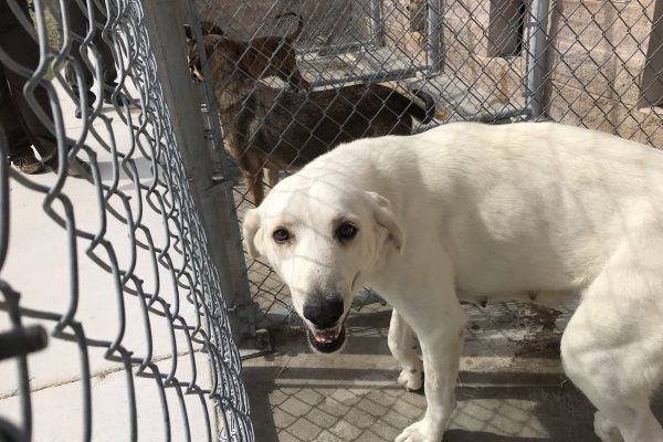Darla - 2 yr old Female Intact Pyrenees X (1)
